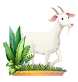 A white goat Vector Image
