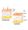 Collagen and elastin vector image