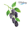Watercolor mulberry vector image
