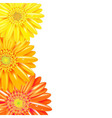 Yellow And Orange Gerbers Border vector image