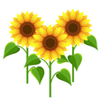 Summer flowers sunflowers nature wallpaper vector image