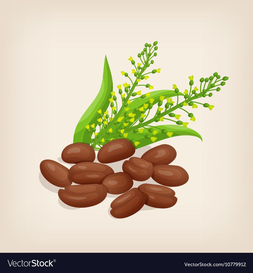 Camelina sativa seeds with flowers and leaves vector