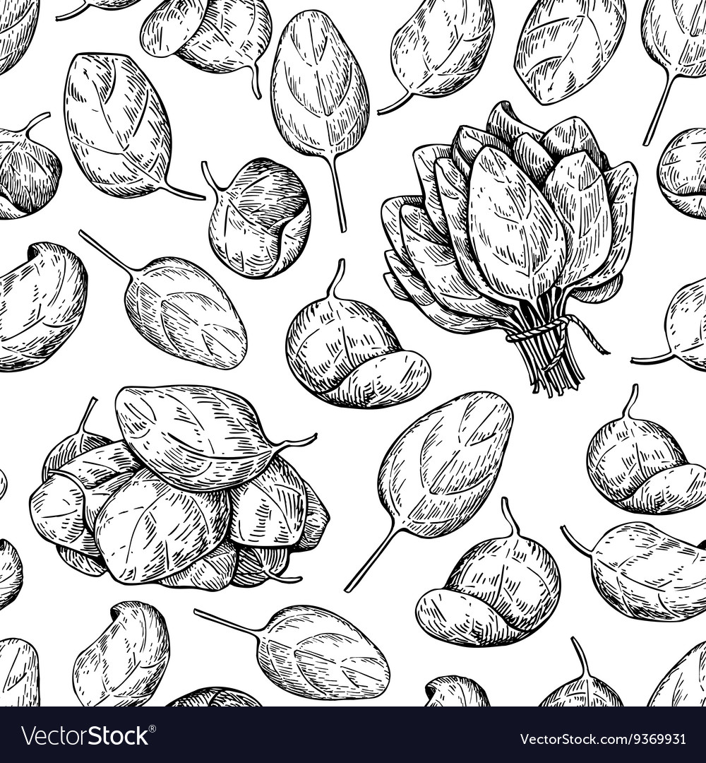 Spinach bunch and leaves hand drawn vector