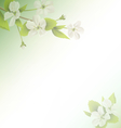 Cherry branch with white flowers on green vector image