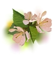Branch of a blossoming apricot vector image