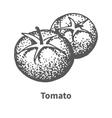 hand-drawn tomato vector image