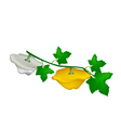 Two Pattypan Squash Plant on White Background vector image vector image