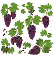 Set of black grape isolated on white background vector image vector image