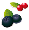 Blueberry and Cranberry vector image